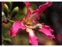 美丽异木棉养殖方法和注意事项
