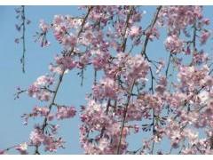 樱花怎么养-图片-小知识