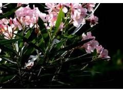 夹竹桃养殖方法和注意事项