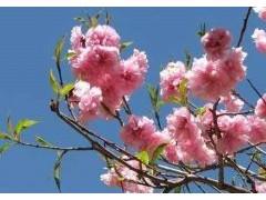 樱花养殖方法和注意事项