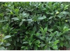 非洲茉莉养殖方法和注意事项