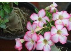 沙漠玫瑰养殖方法和注意事项