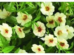 天竺葵养殖方法和注意事项