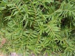 凤尾竹养殖方法和注意事项
