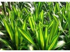 巴西铁养殖方法和注意事项