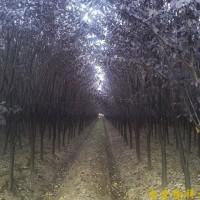 供应紫叶李等多种绿化苗木