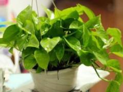 怎样养绿萝才能茂盛,分享几种方法