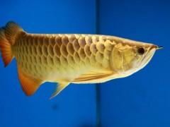 养鱼养几条好风水
