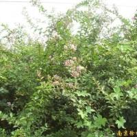 供应紫薇等多种绿化苗木