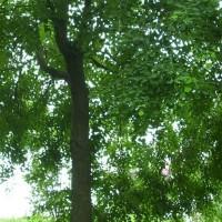 供应乌桕等多种绿化苗木