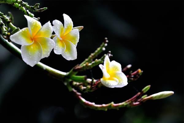 鸡蛋花秋天怎么养,素馨花和鸡蛋花的区别