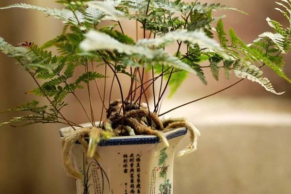 水培狼尾蕨带给你清爽的养护体验,狼尾蕨的养殖方法和注意事项