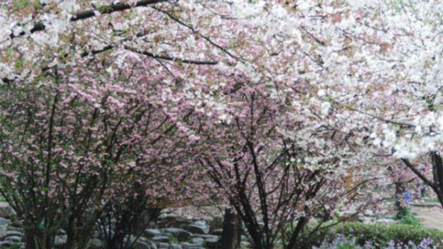 怎么让垂枝海棠二次开花,垂枝海棠和垂枝樱花的区别