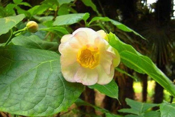 夏腊梅和腊梅的区别,夏腊梅繁殖四大法