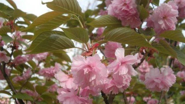 日本晚樱和东京樱花的区别,日本晚樱的扦插繁殖