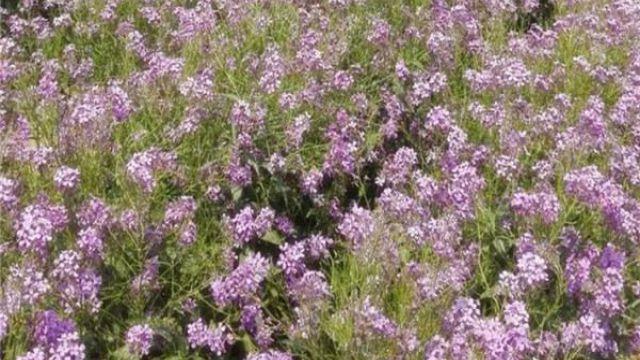 蓝香芥的作用是什么,蓝香芥的养殖方法和注意事项
