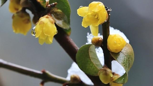 腊梅种子种植方法,腊梅秋天怎么养