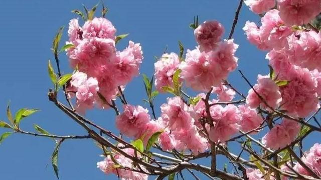 樱花秋天怎么养,垂丝海棠和樱花的区别