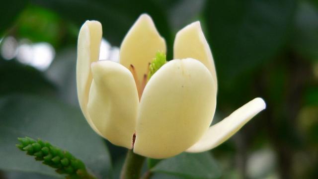 深山含笑和乐昌含笑的区别,含笑花与白兰花的区别