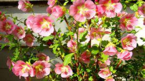 小木槿什么时候开花-图片