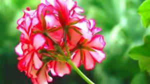 天竺葵什么时候开花-图片