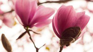 木兰什么时候开花-图片