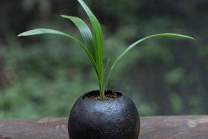 棕竹叶子发黄怎么办,怎么养护