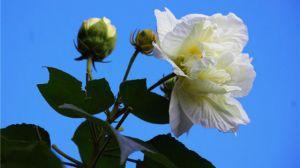 木芙蓉花什么时候开花-图片