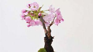 樱花什么时候开花-图片